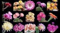 绝美!仙人科植物开花延时拍摄
