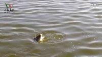 解密黑坑钓鲤鱼爆连