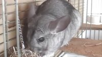 Chinchilla daddy 23 years old and his son 18 years old