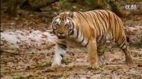 老虎  【万兽之王】