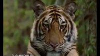 孟加拉虎(保护野生动物的勇斗士)