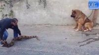 刚刚还胸猛异常的高加索犬遇到蟒蛇就怂了