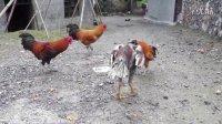 斗鸡vs土鸡(四) 不喜勿喷。