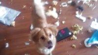 小橙子姐姐:我家狗狗趁主人不在家的惊人破坏力