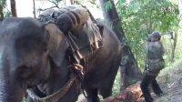 拿什么拯救你?那些被尖锥刺耳、铁斧砸身的大象!
