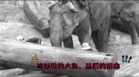 红木商人盲目逐利,老挝大象惨遭灭绝