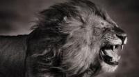 丛林之王雄狮辛巴vs雌性孟加拉虎
