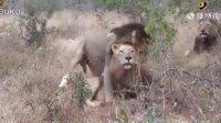 太污了!狮子也搞基 四只雄狮组团交配