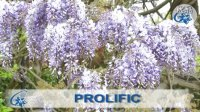 紫藤-紫藤的春季修剪