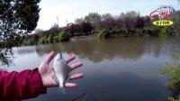 追击超大鳑鲏鱼