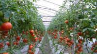 番茄深冬期管理(一)