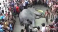 印度大象被洪水冲出国 漂流1000公里在孟加拉获救