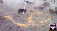 实拍:美国男子设陷阱关住数十只野猪 逐一狙杀