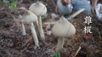 [寻觅家的味道]寻找藏在树荫下的美味 鸡枞蘑菇 四川巴中美食纪录片