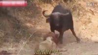 狮子与野牛的恩怨 野生动物集锦
