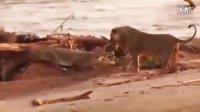 狮子调戏鳄鱼 捕食者凶悍攻击集锦 野生动物