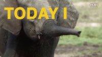 每日酷知识:用蜜蜂吓大象,就能救牠们一命