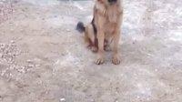 看驯兽师如何训练德国牧羊犬
