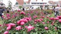 新西兰 Harold Vlog 63 美丽的玫瑰节