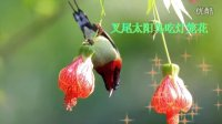 鸟类视频《太阳鸟吃灯笼花》野生鸟视频