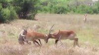 羚羊打架太投入 被猎豹美餐