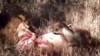 狮子吃狮子,动物世界绝不会播这么残忍的画面,看的心里压抑!