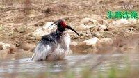 鸟类视频《26种野生鸟洗澡大合集》