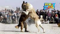 一獒战三虎,藏獒真的比老虎狮子强吗?