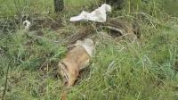 大蟒蛇吞吃整头鹿 无力消化将其吐出