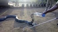这条眼镜蛇像孩子一样,喂它喝矿泉水,出奇乖顺!