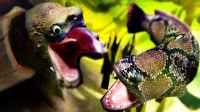 【屌德斯解说】 模拟食人鱼 你见过如此巨大的黄鳝吗?一口一个万年鳄鱼龟!