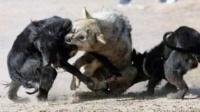 藏獒vs狼 这么多藏獒打不过一只狼  同伴倒下了他们都不敢救