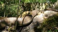 嗅怪自然:森王蛇丛林中猎食同类