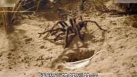 这种恐怖的母蜘蛛留下蛛丝马迹让雄蜘蛛找上门, 一不合意马上吃掉