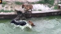 在动物园里, 有人把活驴扔下水, 居然是为了这么残忍的事情!