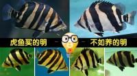 周鱼说鱼 印尼虎不存在绝对长明 但可以驯化养明 第一期20170526
