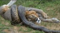 非洲狮大战蟒蛇, 场面火爆难得一见