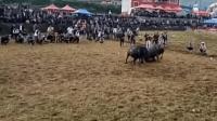 贵州斗牛经典大碰撞