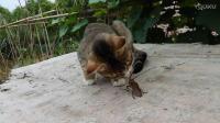 【猫咪趣事】最可爱的小猫咪与牛角虫的故事55  猫咪的各种呆萌搞笑发现最热视频萌萌哒 萌宠日常 动物搞笑 轻松时刻可爱的动物呆萌卖萌整蛊