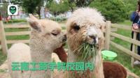云南一高校圈养萌宠羊驼 为其造5000平米公园