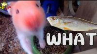 【天雷滚滚的VLOG】仓鼠吃鱼 放轻松 祝大家考个好成绩 如鱼得水