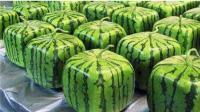 太牛了: 世界最贵的西瓜, 一个能买一部iPhone 7