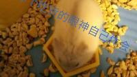 Seul落花~仓鼠日记给酋长刷洗他的窝EP.3