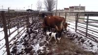 牧羊犬赶牛进圈, 还知道体谅大奶牛!