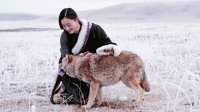 她养大一匹狼 送它重返狼群 4年后他们重逢了 136