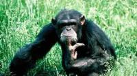 好有趣的猩猩, 小心把狗狗给惹毛了!