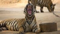 恋爱季节到了, 公老虎是异常凶猛, 一言不合就开打