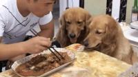全网最搞笑的两只金毛犬, 专治不开心, 笑的我合不拢嘴!