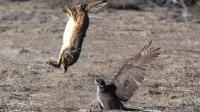 苍鹰空中猎杀山鸡和鸟类精彩集锦, 这猛禽主宰欧亚大陆天空!