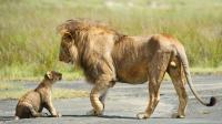恋爱季节到了, 雄狮异常狂躁想咬死小狮子, 母狮看到上去就是一巴掌!